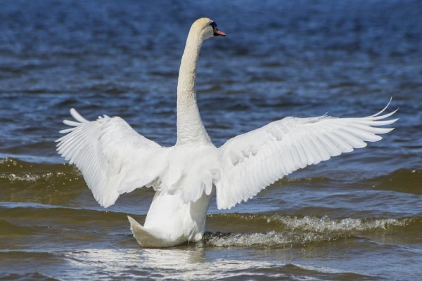А белый лебедь уплыл в море...