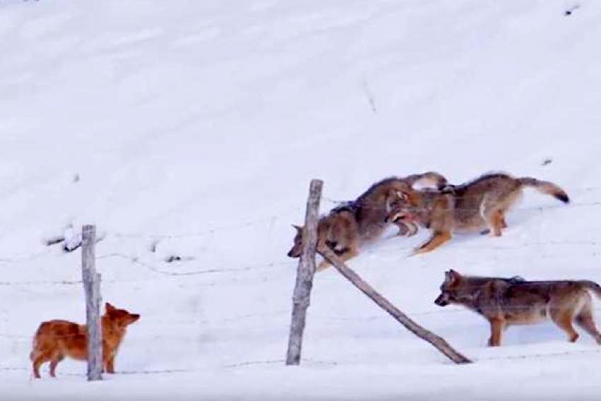 Итоги выходных: десятки сообщений о волках, рысь возле помоек и три убитых собаки