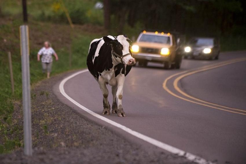 Автомобиль получил повреждения, столкнувшись с коровой