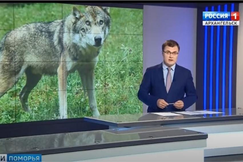 Жителей Поморья просят сообщать об обнаружении волков на номер телефона 112