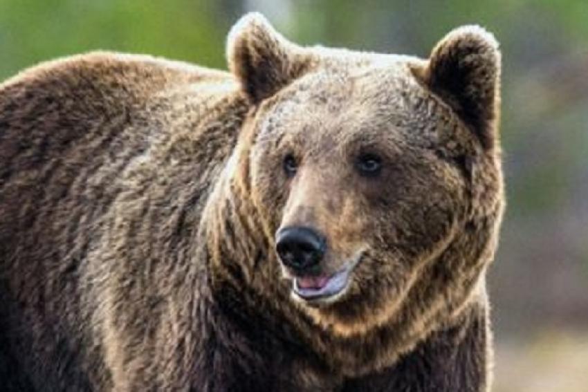 В Маймаксанском округе замечен медведь