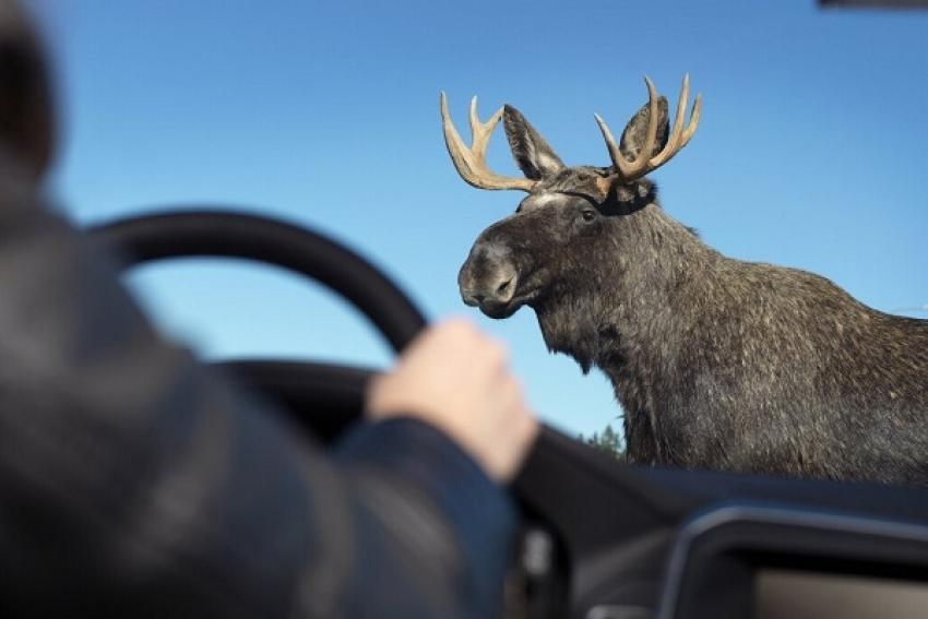Северодвинский охотовед: Осторожно, весенняя миграция лосей