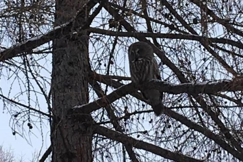 В Новодвинске жильцы спасли совёнка от ворон