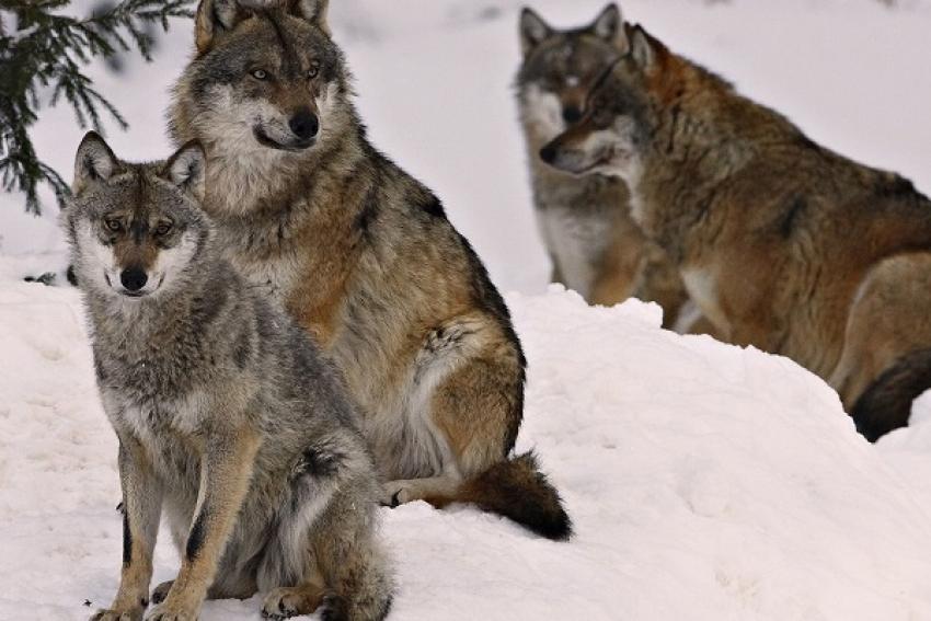 «Волки выходят в деревню средь бела дня». Только местные охотники способны решить проблему разбоя хищников в населённых пунктах